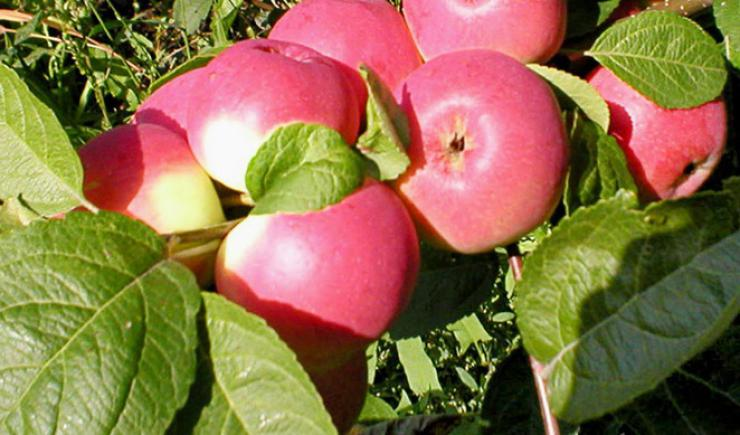 пепин яблоня фото