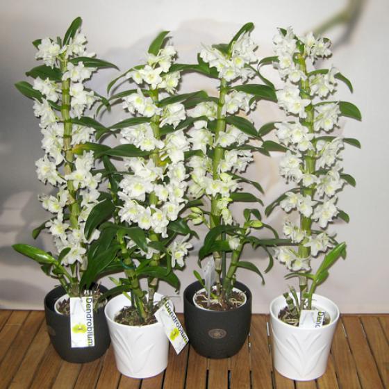 Виды орхидей с фото в домашних условиях