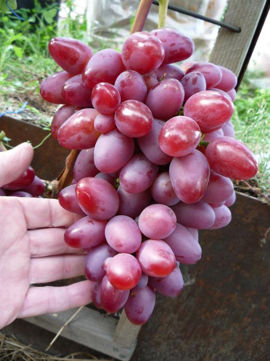 корягин виноград