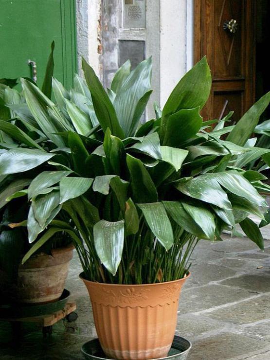 какой комнатной растение подступает для имени алина