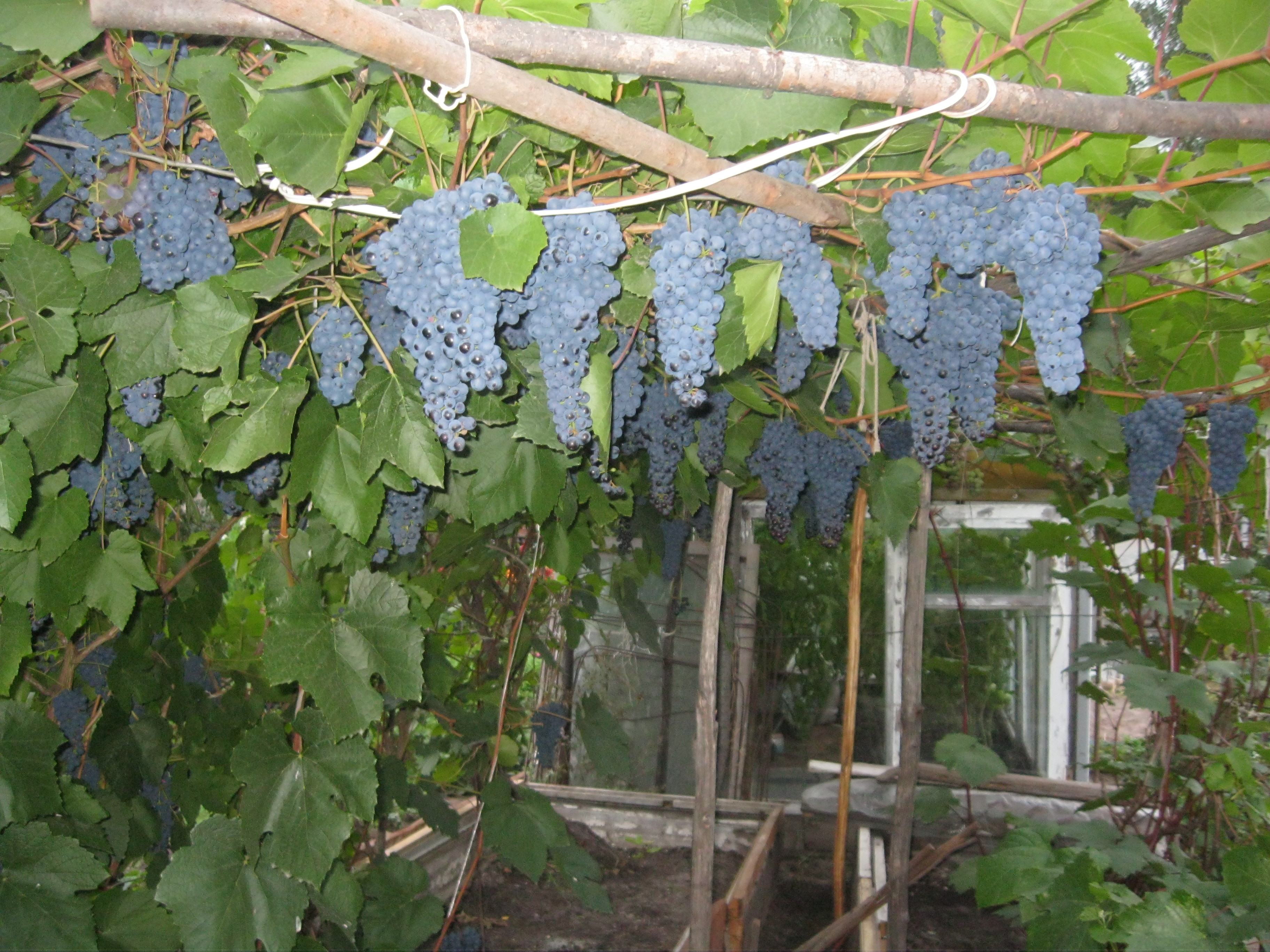 Виноград Памяти Домбковской