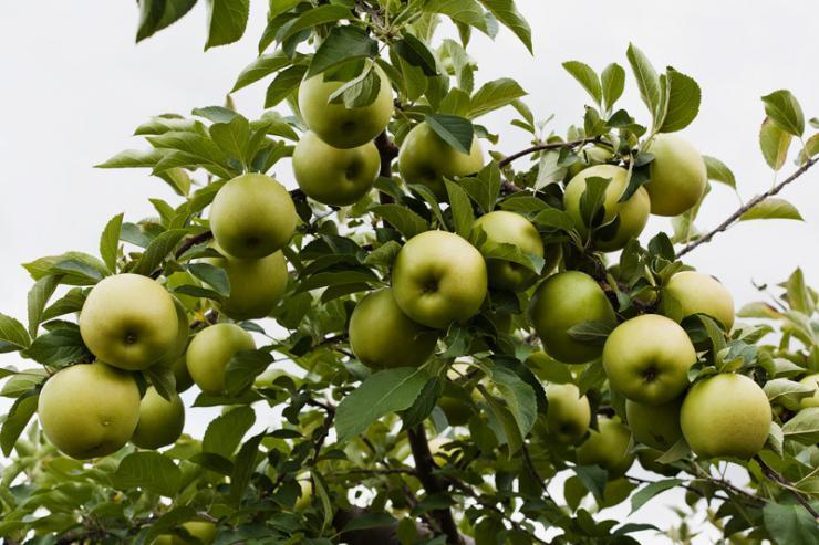 Яблоня болезни и вредители