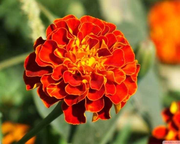 marigold-wallpaper-2000x1333_1.jpg