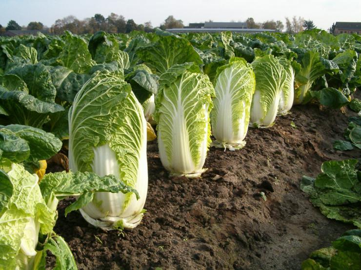как выращивать пекинскую капусту в теплице видео
