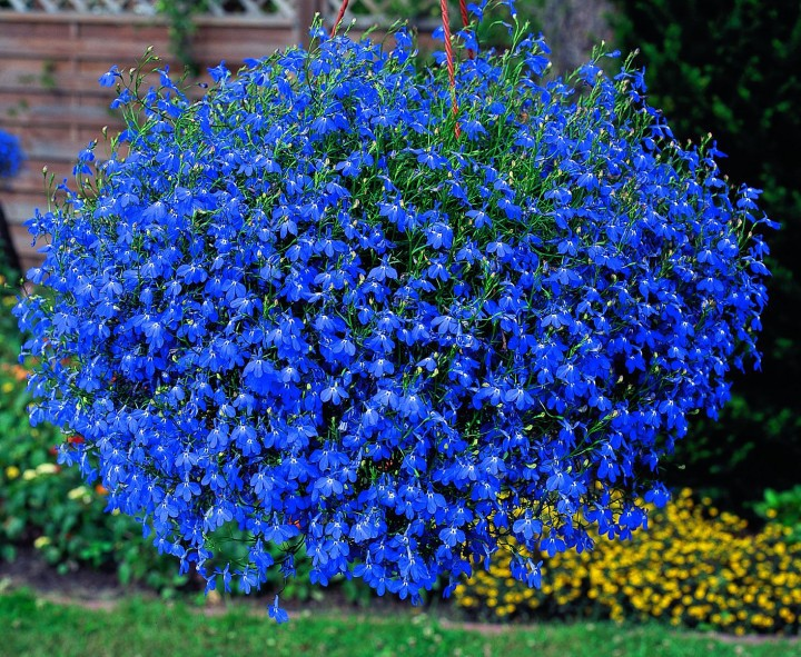 Lobelia-for-arthritis.jpg