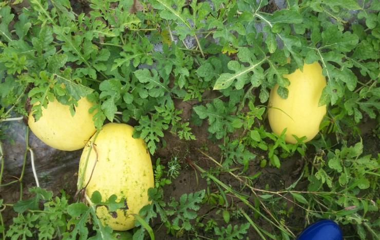 Выращивание арбузов на дальнем востоке 40