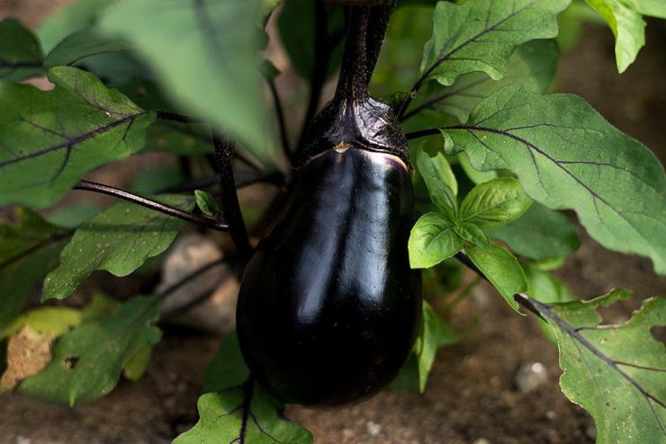 vegetables-black-egg-eggplant-70-days-1_1024x1024.jpeg
