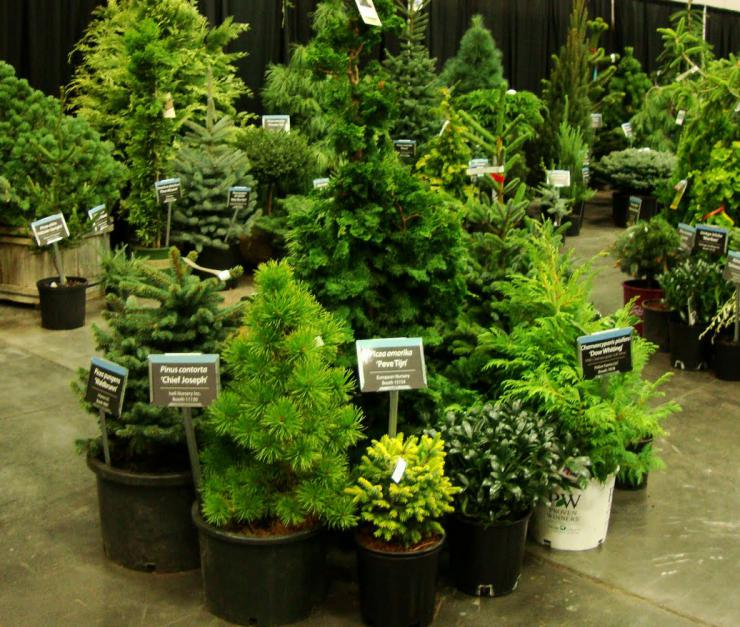 conifer display.JPG
