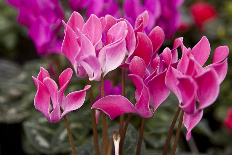 Cyclamen_persicum_flowers_photo_file_PDB90KB.jpg