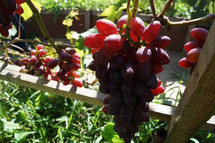 Виноград в сибири воронцовых