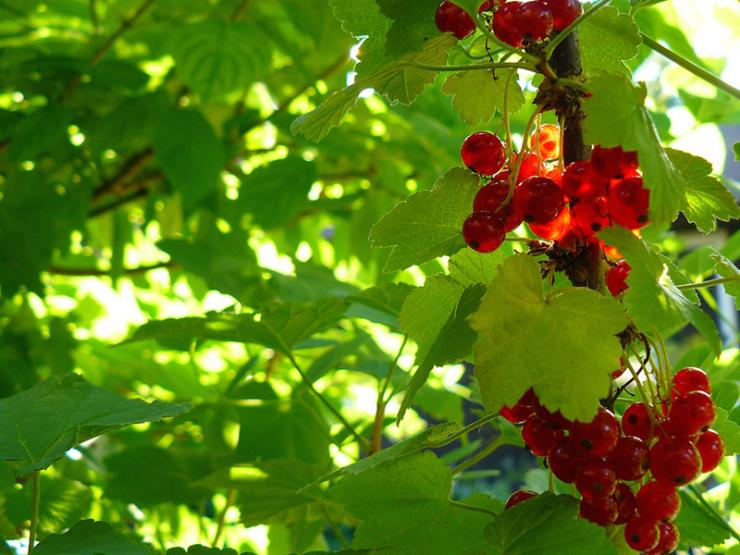 red-lake-currant-weisen.jpg