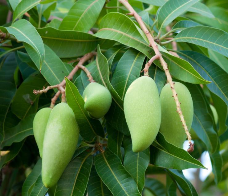 Инжир : выращивание в домашних условиях из семян