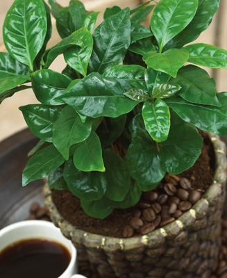 coffee-plant-collectionsetc.jpg