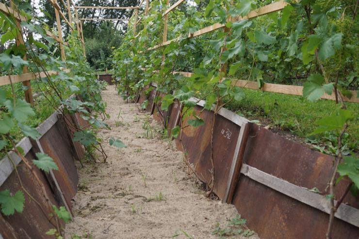 посадка винограда в траншеи в сибири