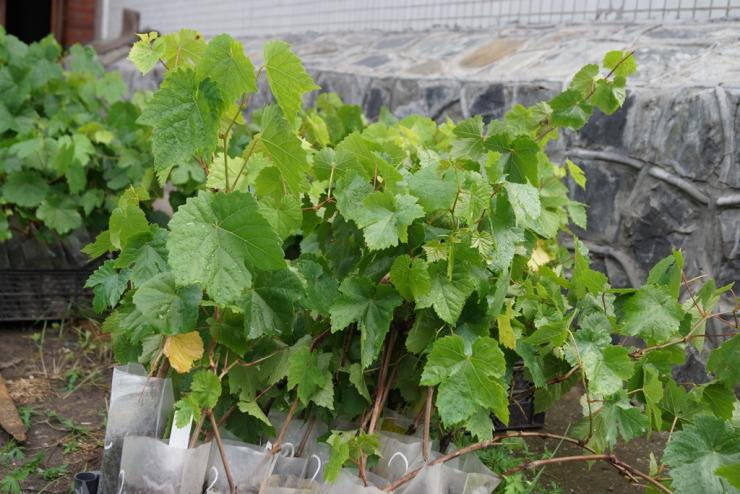 подготовка винограда к посадке саженцы