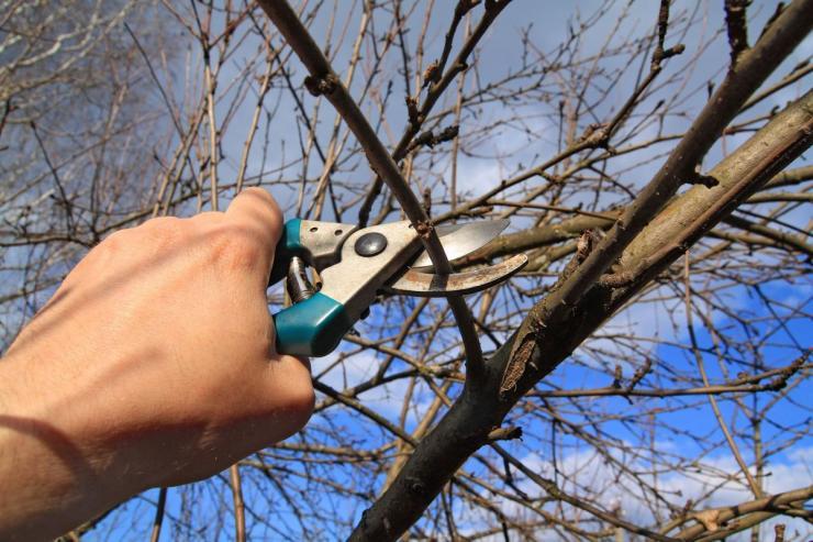 как обрезать яблони и груши