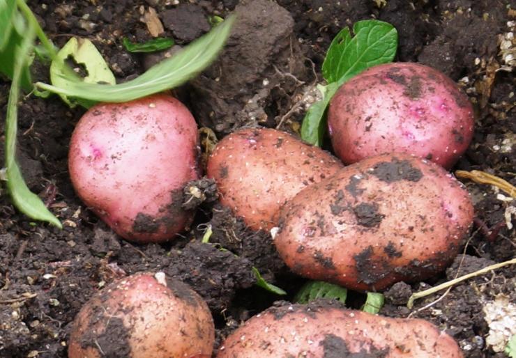 Картофель выращивание и болезни 98