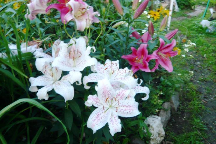 Особенности выращивания восточных лилий 50