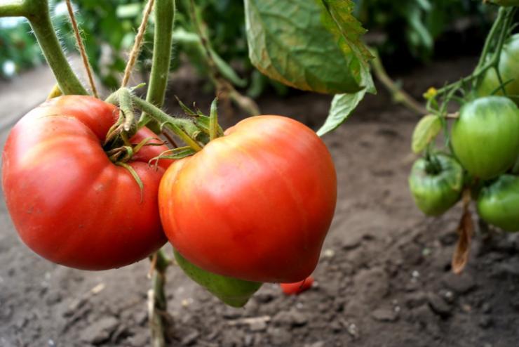 Картинки поливают помидоры