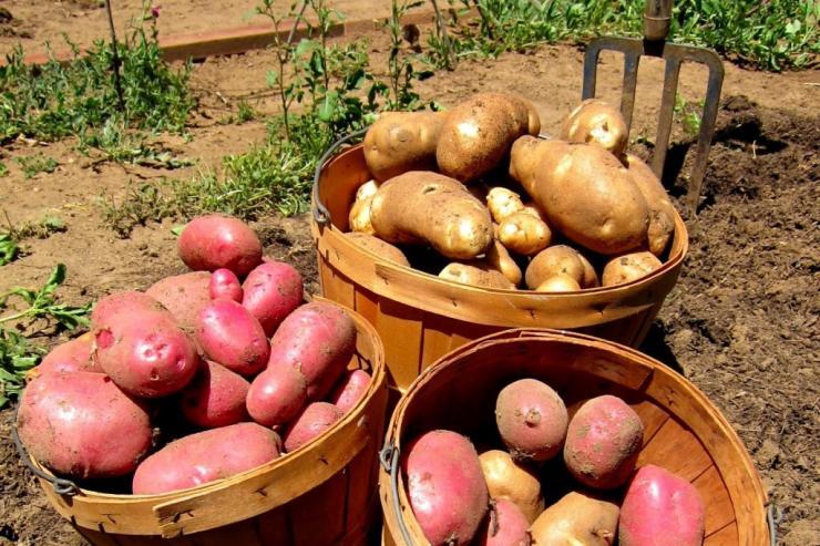 Когда убирать картофель в башкирии в 2018 году