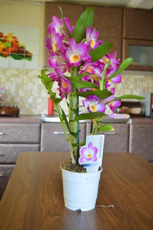 орхидея дендробиум детки как отделить