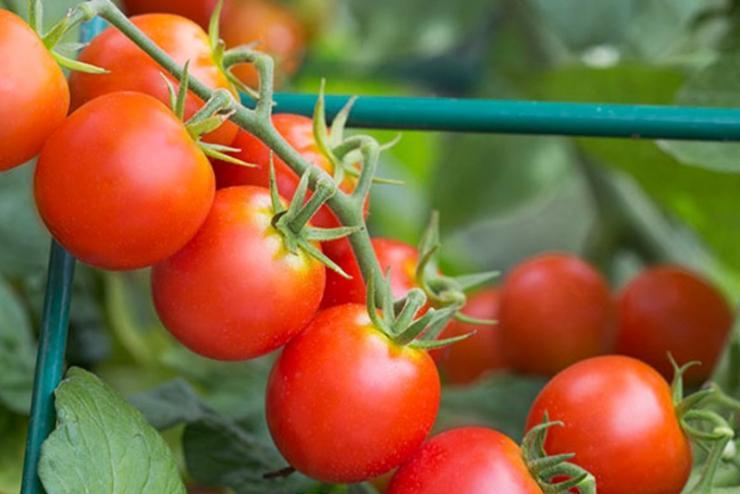 сорта томатов черри для открытого грунта