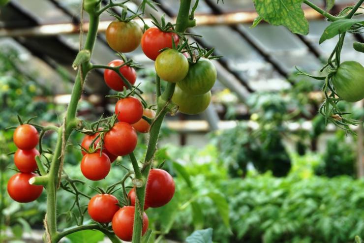 Сорта томата для теплицы фото