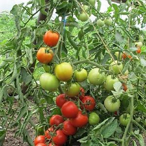 Томат Флажок купить томат оптом и в розницу от производителя | 300x300
