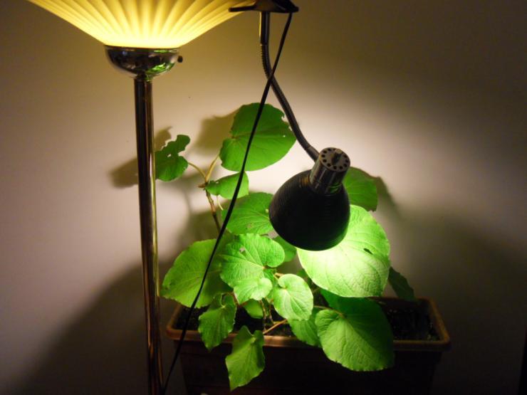 Подсветка растения лампой накаливания