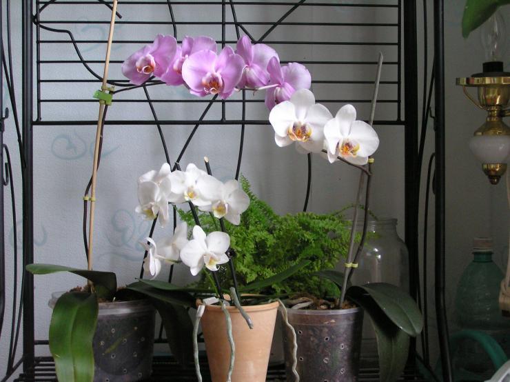 как вырастить фаленопсис в домашних условиях