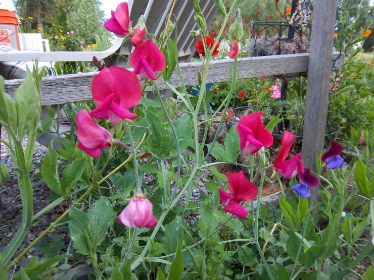 Цветной горошек выращивание 68