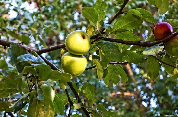 сроки обрезки яблони