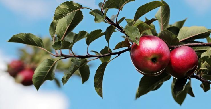 обрезка яблони и груши
