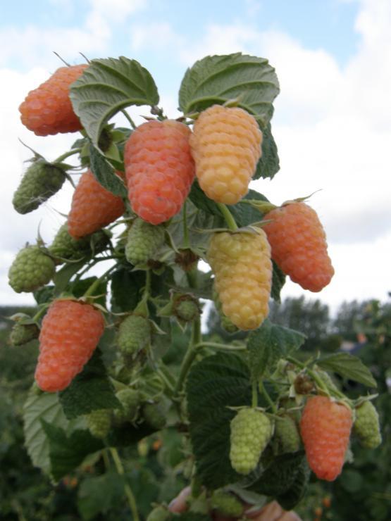 оранжевое чудо сорт малины