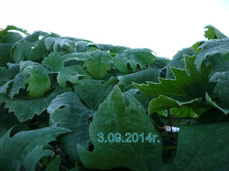 выращивание винограда в новосибирской области