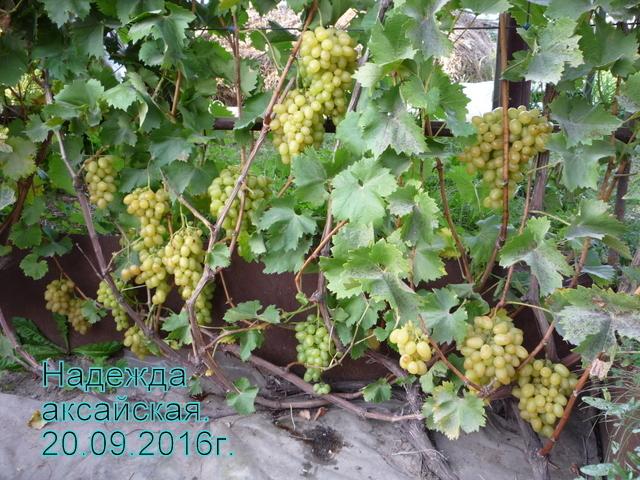 пленка на винограде