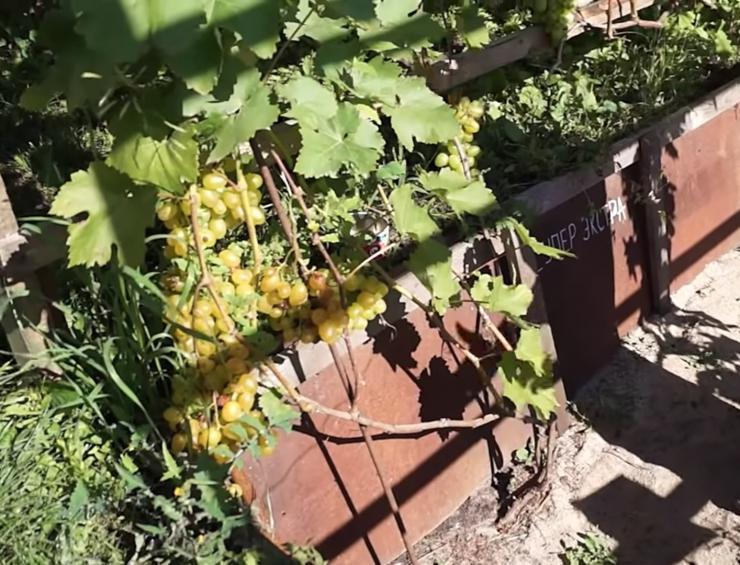посадка винограда для начинающих в суровом климате