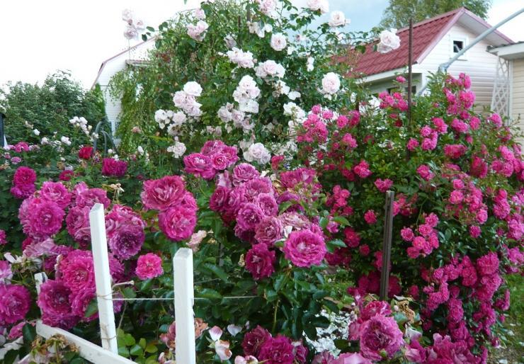 черная пятнистость на розах сорта устойчивые