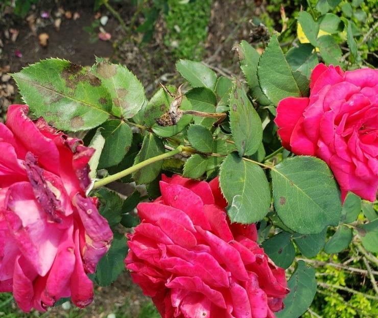 как бороться с черной пятнистостью на розах