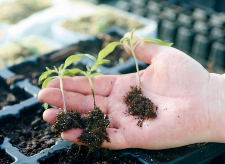 чем обработать землю под рассаду вместо марганцовки