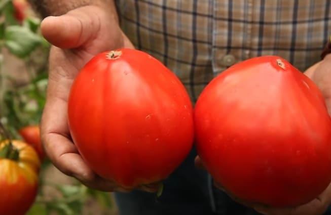 томат семен безголовый